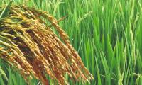 Pakistan to export 100 tons hybrid rice seeds for first time in April