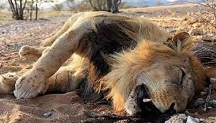 Eleven lions ´poisoned to death´ in Uganda national park