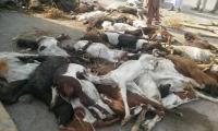 在拉合尔附近的道路交通事故中,200多只山羊死亡后,人们已经对肉类警惕起来