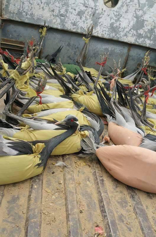Cranes hunted by Wazir tibesmen