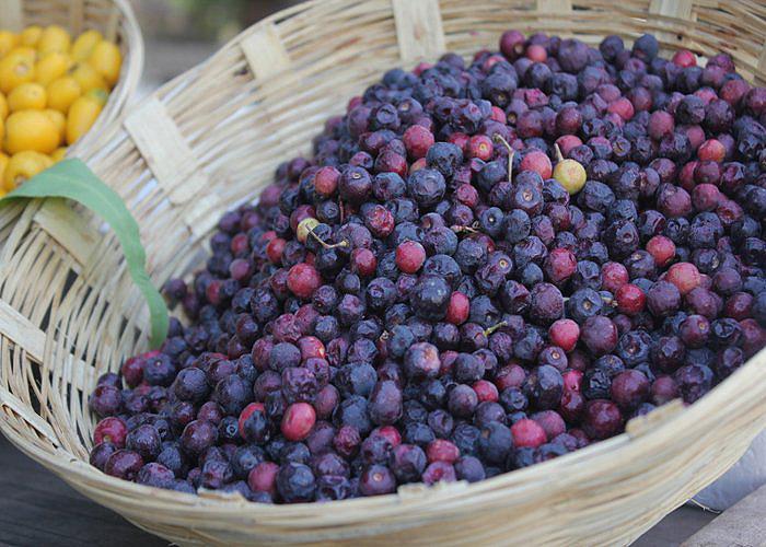 Phalsa: Sweet and sour economics of summer cash fruit