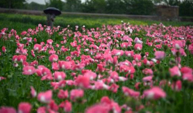 Huge opium production fall won't stop heroin glut: UN