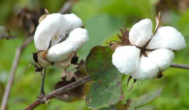 Monsanto's BT cotton technologies