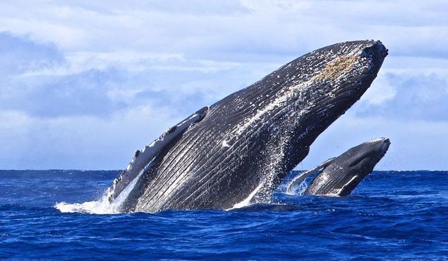 Humpback whales sighted along Karachi coast