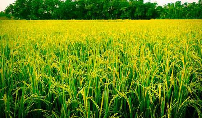 Rice output likely to fall 6pc in Punjab during 2016/17