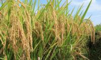 Pakistan to export hybrid rice seed to Philippines