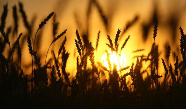 Govt expects bumper wheat crop this year