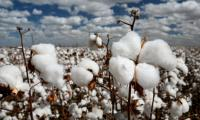 Govt to distribute 38,000MT certified cotton seeds