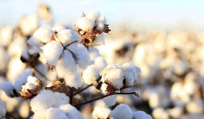 Cotton sowing in Punjab up 18pc for FY18