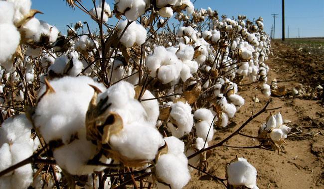 Govt revises down cotton output target to 12.6mln bales in FY18