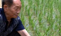 China offers high-yielding rice variety to boost Pakistan's food security