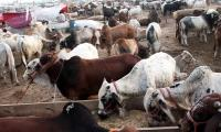 Govt designates eight points for cattle markets in city