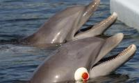 Despite threats, number of blind dolphins rising: survey