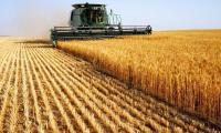 Low river inflows createwater shortages for wheat crop