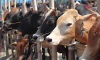 Use of cattle-fattening steroids rings alarms