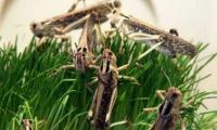 Scare as locust swarm heading towards Matiari, Hyderabad
