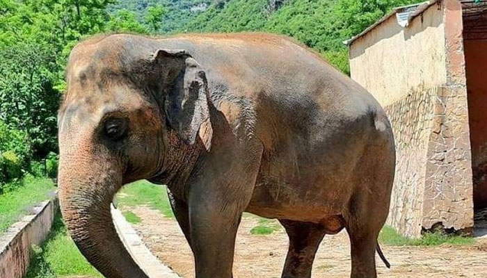 Kavaan, the lonely elephant, to be shifted to Cambodia in November