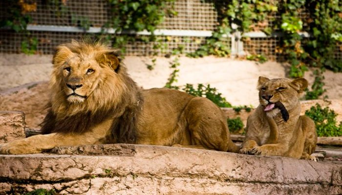 Four lions test positive for Covid in Spanish zoo