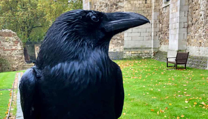 Bad omen? Tower of London raven missing, feared dead