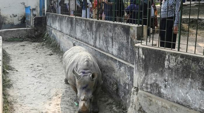 BD Zoo is looking for Kanchi Rhino's mate
