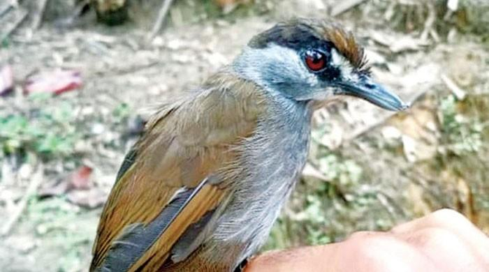 Black Babbler Emerges After 170 Years!