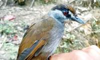 Black-browed Babbler emerges after 170 years!