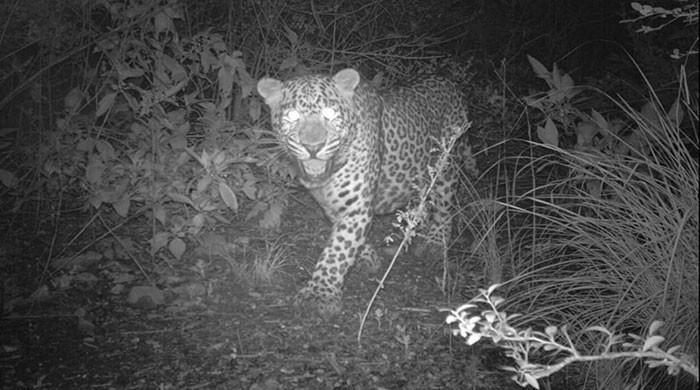Camera footage shows rare wildlife species returning to Margalla Hills