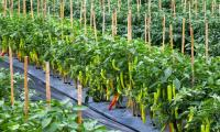 'Pilot project of chilli farm at 100 acres completed'