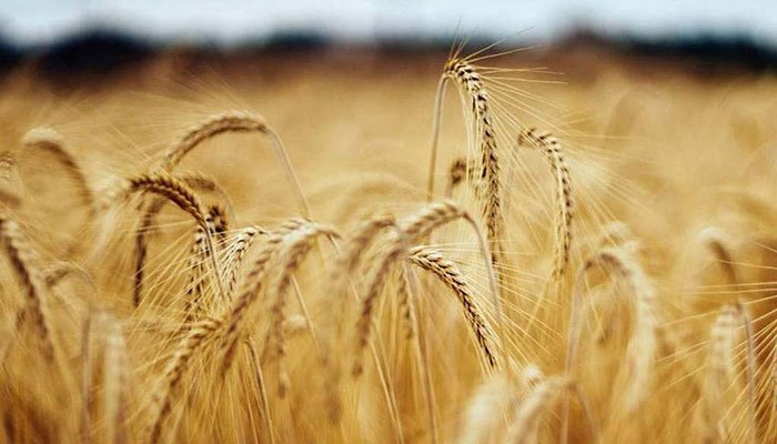 'Punjab accounts for 76pc total wheat production'
