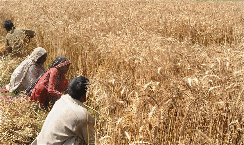 Wheat crisis