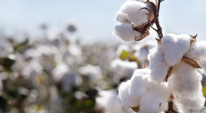 Producing cotton sustainably