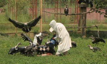 Saving vultures