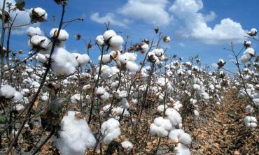 Cotton connection