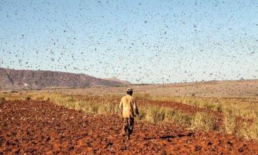 The locust emergency