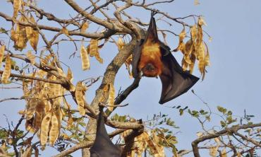 The case of the flying foxes