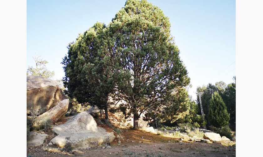 Chilgoza tree.