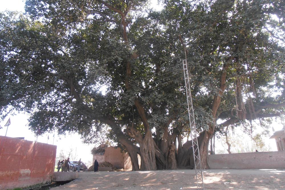 Banyan tree at Choha Gujjar.