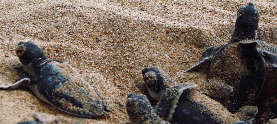 Kosgoda-Turtle-Hatchery-