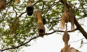 Nests of weaver birds.