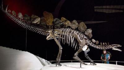 Shape of Stegosaurus plates reveal if male or female