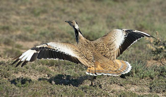 SC lifts ban on hunting of Houbara Bustard