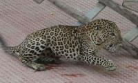 Leopard enters school in India, injures six people
