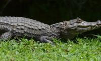 Man charged with throwing alligator into fast food restaurant