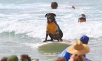 Dogs have their day at Australian surfing festival