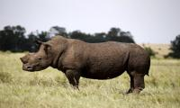 Australia may take in African rhinos to prevent extinction
