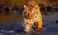 Bengal tiger dies at Karachi zoo