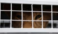 Former circus lions begin journey to S.African refuge from Lima
