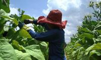 Childhood goes up in smoke for Indonesian tobacco farm workers