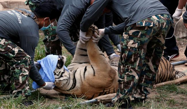 Big cats removed from Thailand´s infamous Tiger Temple
