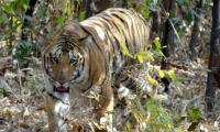 Mystery of missing Jai, India´s most beloved tiger